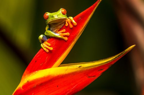 costa rica frog